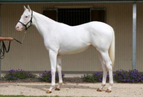 صورة خيل اصيل , اجمل الخيول الاصيله 2457