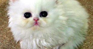 صوره قطط رومي , معلومات عن القط الرومي