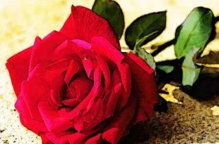 صورة صور ورد طبيعي , اجمل بوكيهات الورد الطبيعى