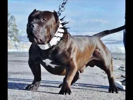 صورة اشرس انواع الكلاب , تعرف على اخطر انواع الكلاب