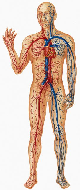 صور جسم الانسان بالصور , صور تكوين الحسم بالتفصيل