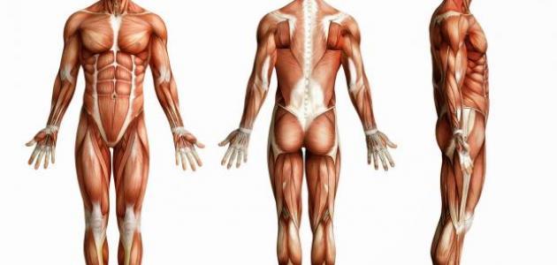 صور كم عدد عضلات جسم الانسان , ما يحتويه جسد الانسان من عضلات