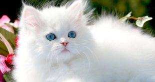 صوره صور قطط شيرازي , تربيه قطط الشيرازى الجميله