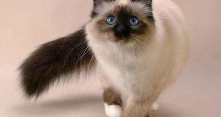 صوره قطط سيامو , اشكال مختلفه لقطط السيامو الجميله