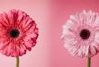 صور خلفيات وردي , ارق الخلفيات الورديه بتصميمات رائعه