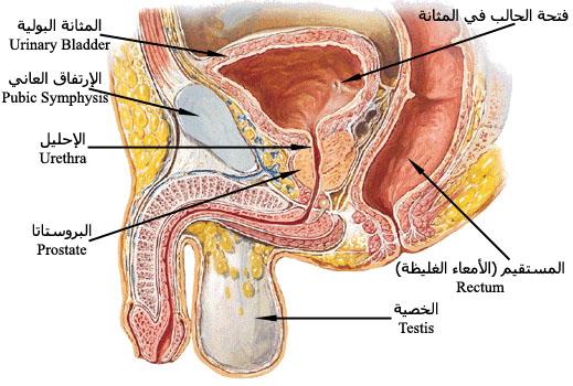 بالصور اسباب تضخم البروستاتا , ما هي اسباب و اعراض تضخم البروستاتا و علاجها لدى الرجال 660 2