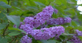 صورة زهور ليلك الماء , اجمل زهور الربيع