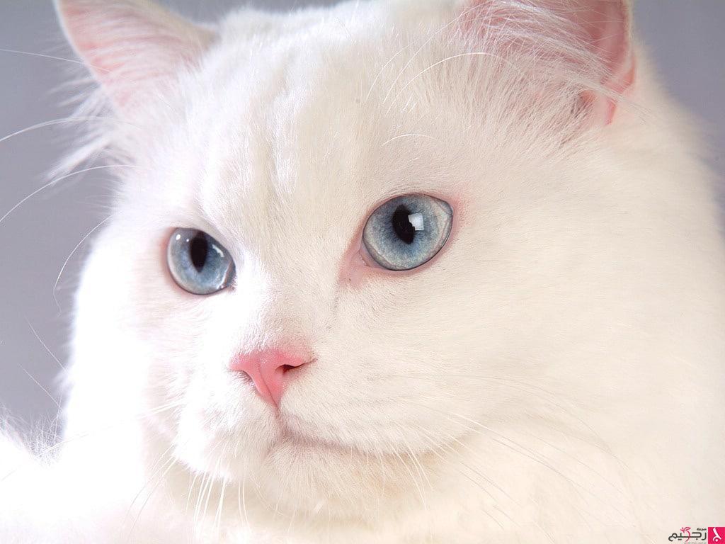 صور اجمل قطة بالعالم , قطط صغيره وجميلة