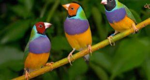 بالصور اسماء الطيور المغردة , التعرف على فصيلة الطيور المغردة 12775 12 310x165