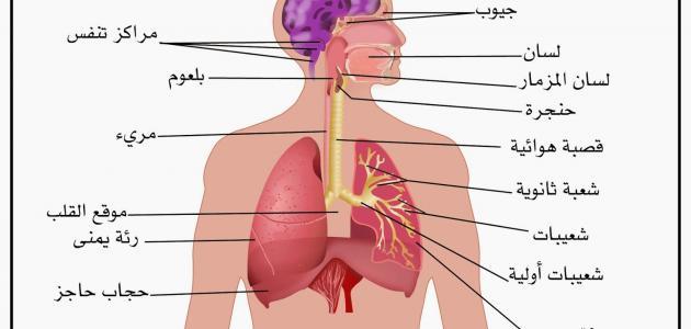 بالصور وظيفة الجهاز التنفسي , ما هو الجهاز المسئول عن الاكسجين 12955