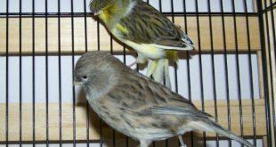 صورة انواع الكناري , الكناري من اجمل الطيور