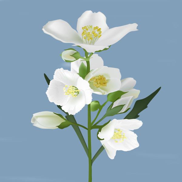 صور صور ورد الياسمين , خلفيات لزهرة الياسمين الجميلة