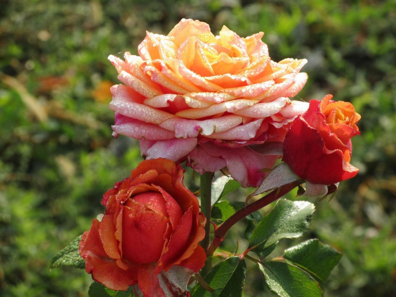 صورة صور ورد جديد , الورود واجمل ما تقول