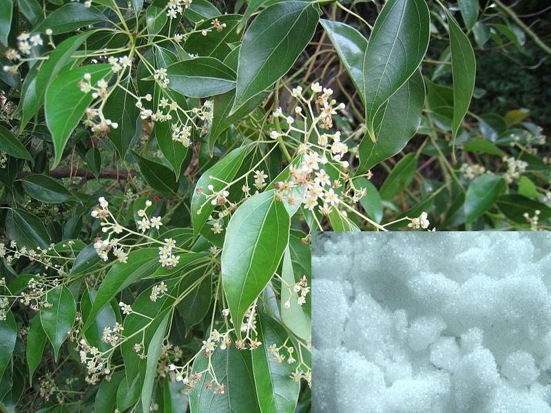 صور ما هو الكافور , هل الكافور نبات او طعام تعرف عليه
