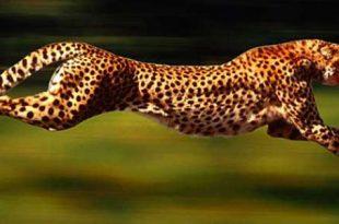 صورة اسرع حيوان في العالم , مواصفات ومميزات اسرع حيوان فى العالم